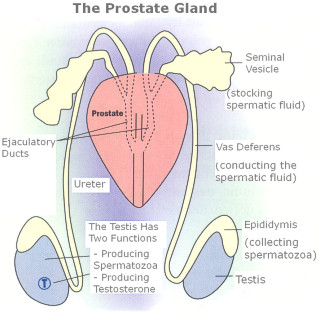 prostate-function